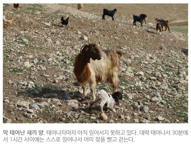 shepherd_field3